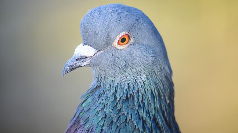 Pigeon close-up