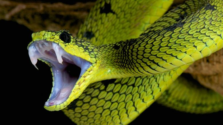 snake fangs