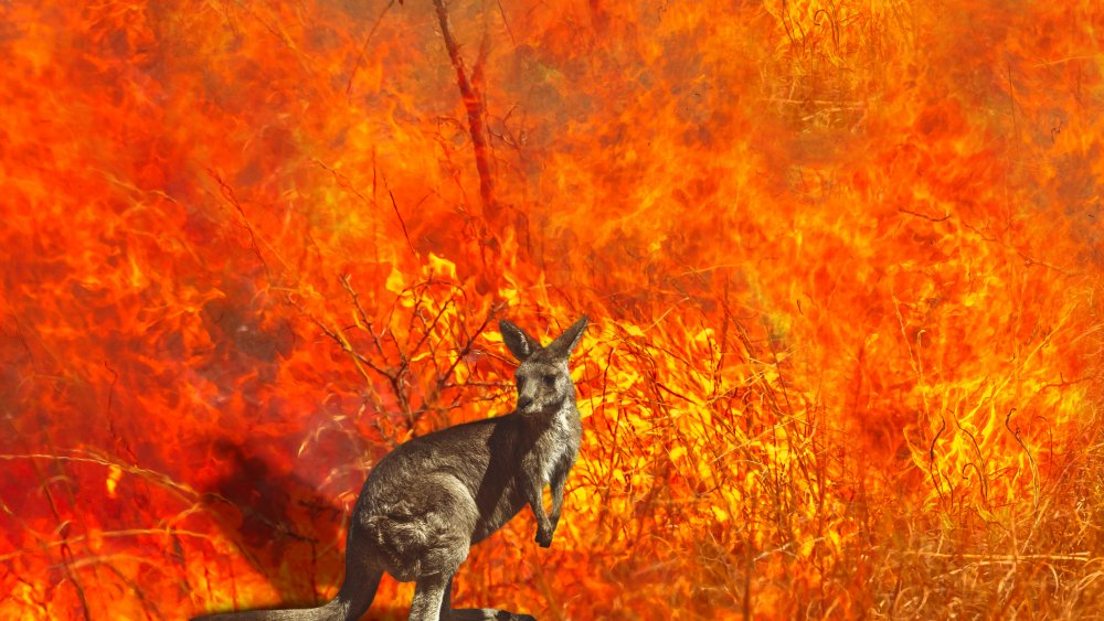 Kangaroo Wildfire