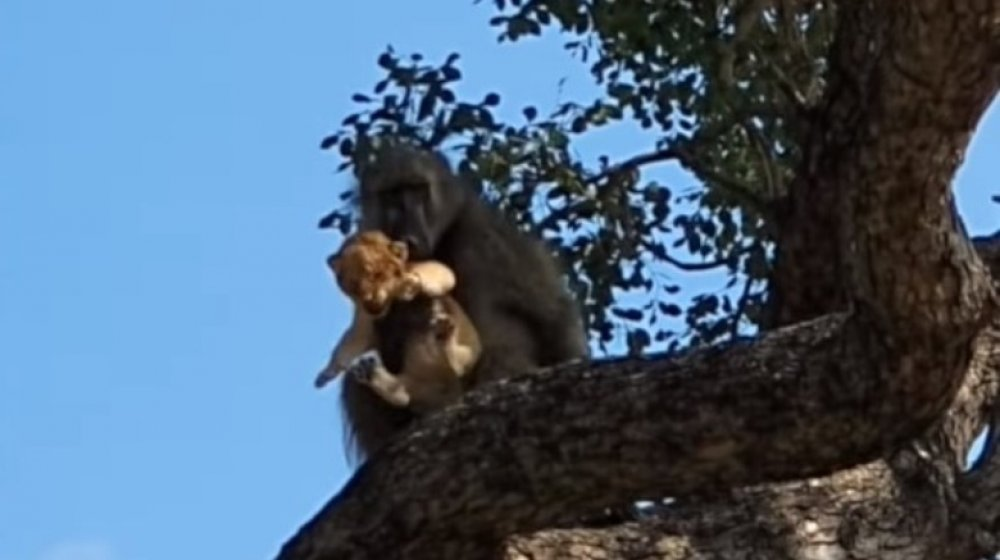 Baboon, blissfully unaware that he's about to be hunted down by that lion's family