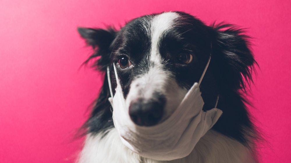 Dog and coronavirus