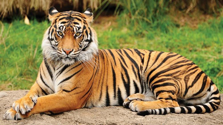 A lounging Bengal tiger