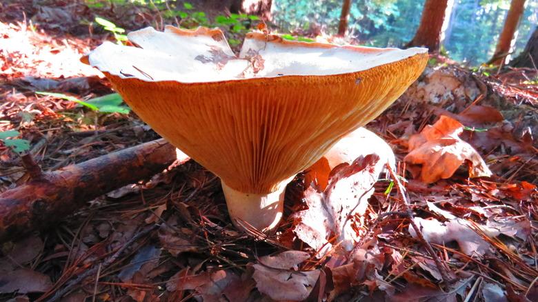 ivory funnel mushroom