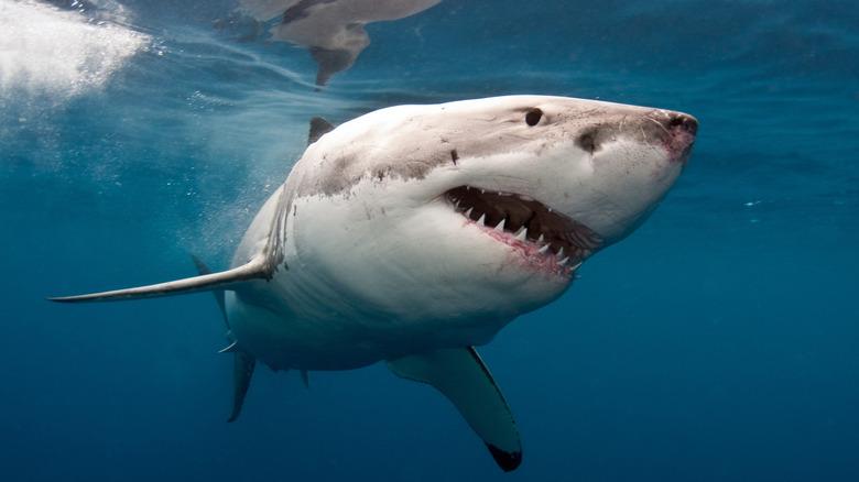 Shark swimming in water