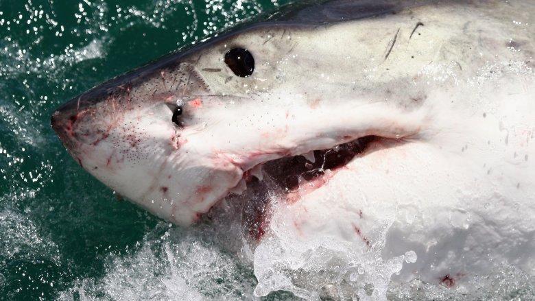 shark closeup