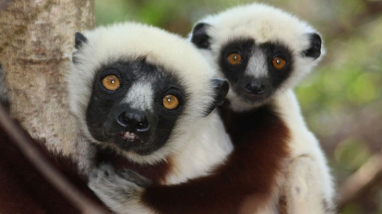 Mother and baby dancing lemurs