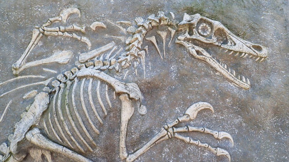 Velociraptor fossil
