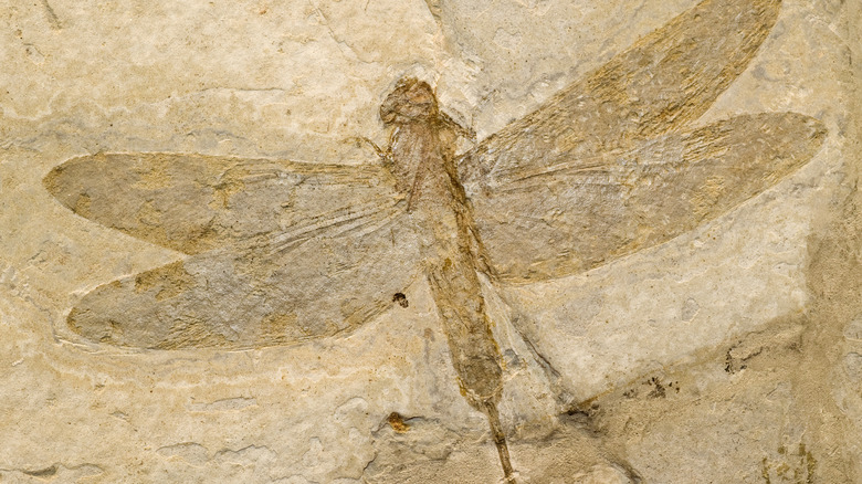 Fossil imprint of prehistoric winged insect