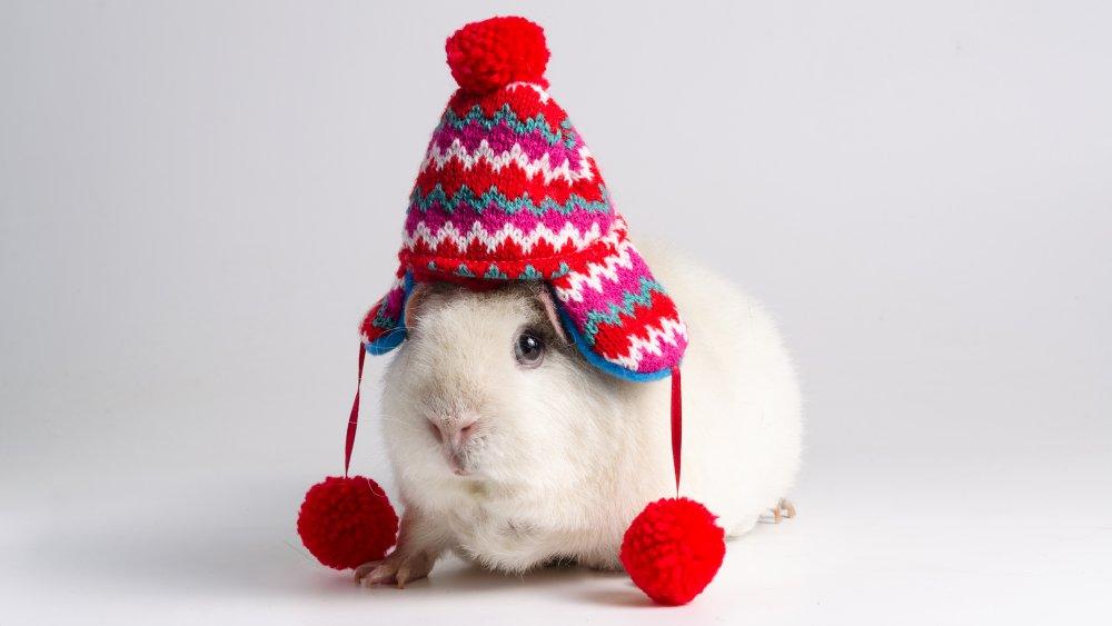 Guinea pig, hat, ice cream