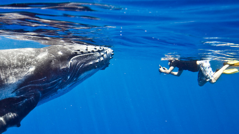 Humpback whale and photographer
