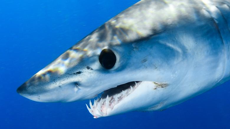 shortfin mako shark swimming
