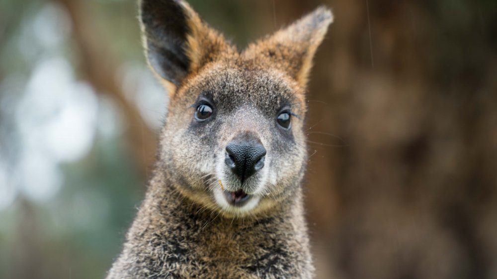 A photograph of a surprised-looking wallaby.