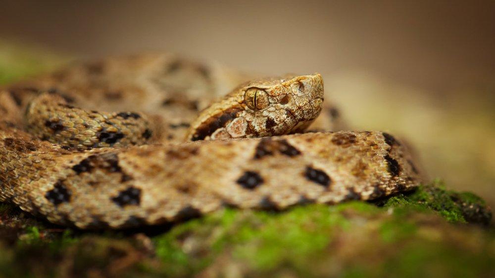 lancehead snake