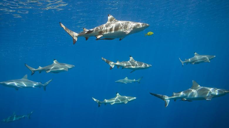 Shark friendship