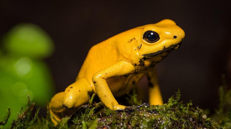 a golden poison frog