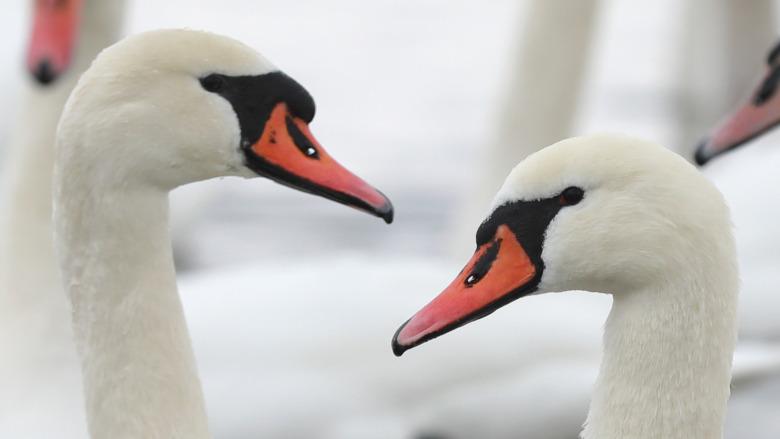 White swans afloat