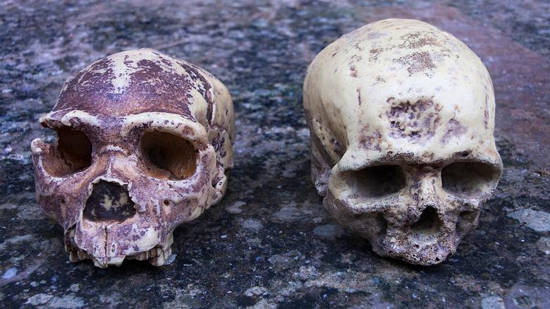 skulls of hominids