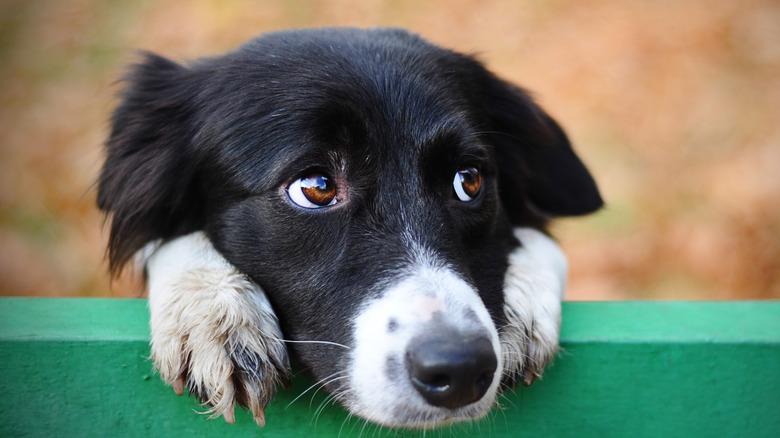 Dog close up on fence