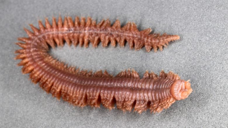 Clam worm