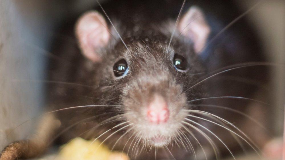 one rat