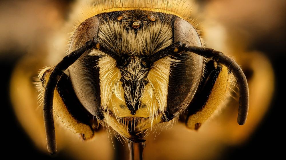 Bee eyes close up