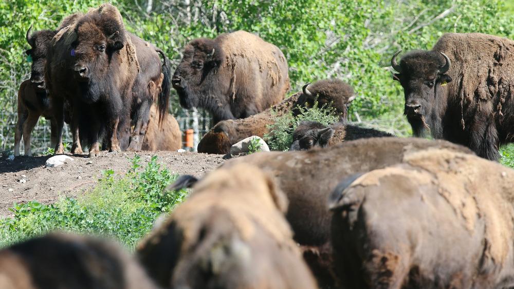 American buffalo, American bison