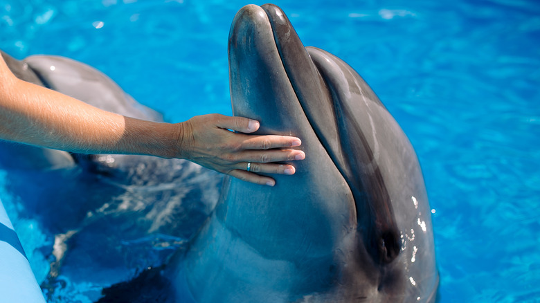 Dolphin in pool touched by human
