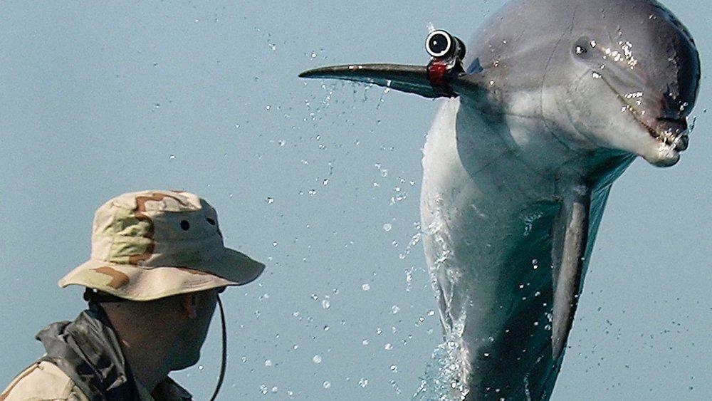 U.S. military dolphin