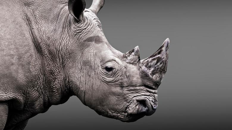 endangered white rhino looking sad