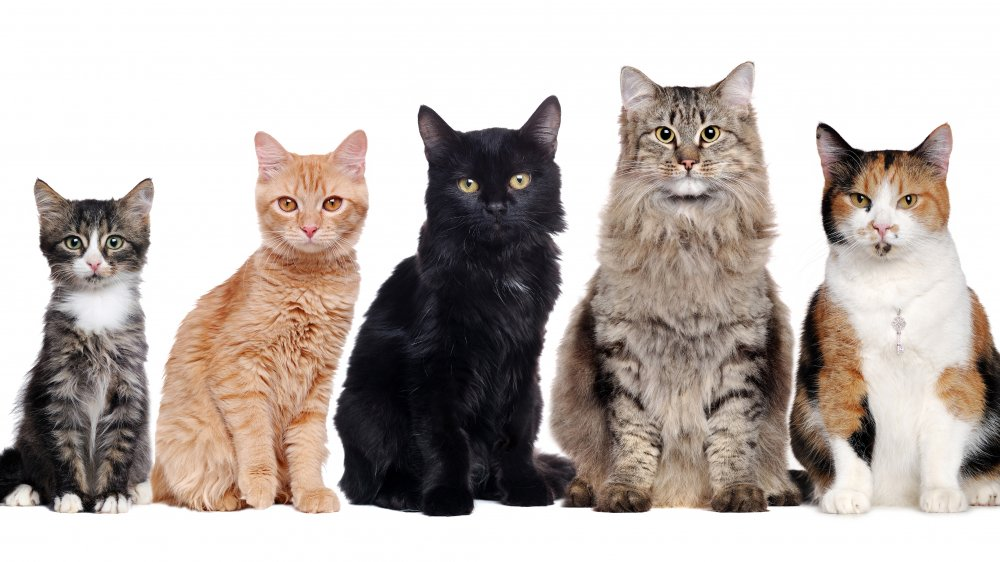 How Many Different Cat Breeds Are There In The World?