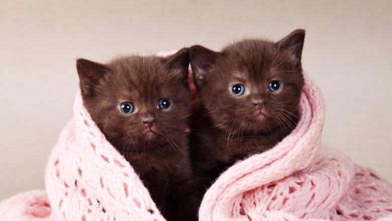 Cat, Twins, Clone