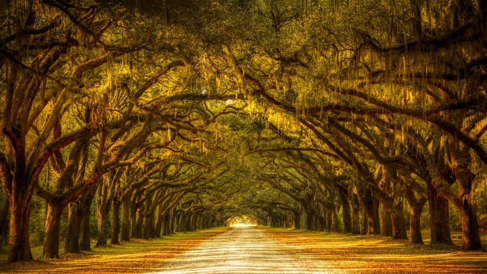 Trees with Spanish Moss, Savannah, Georgia