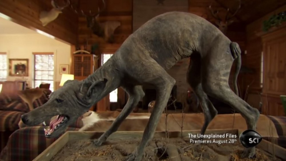 The taxidermied Texas Blue Dog hunched in place forever