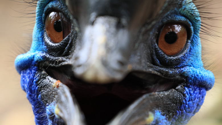 close-up shot of cassowary's face