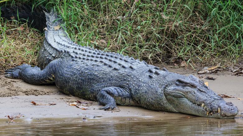 saltwater crocodile moving towards water