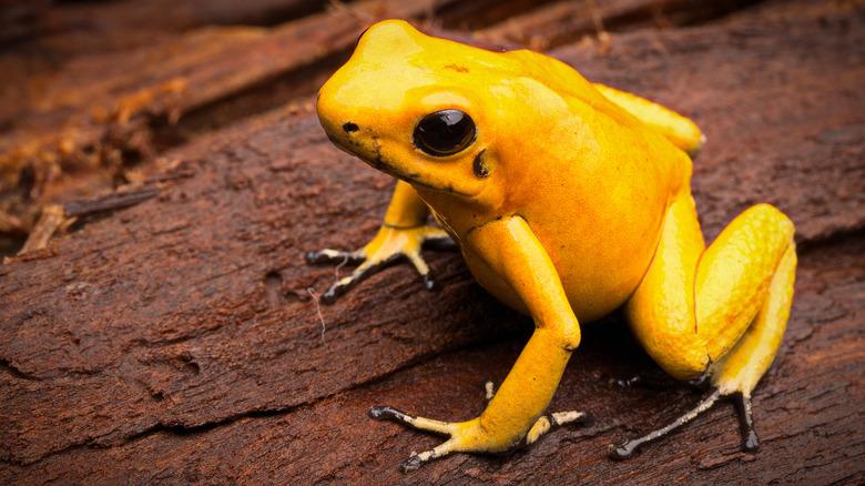 poison dart frog south america