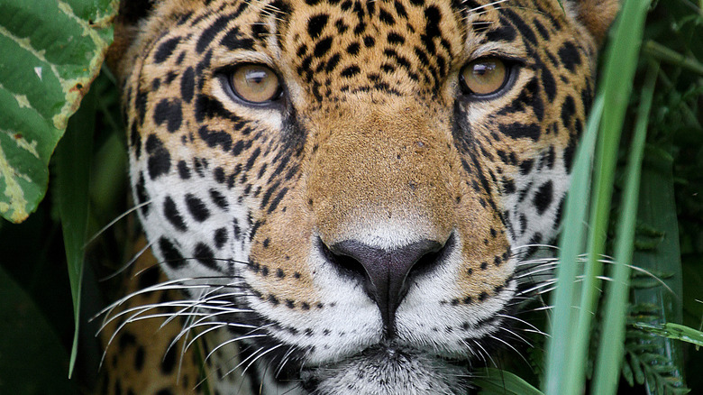 Jaguar looking through plants