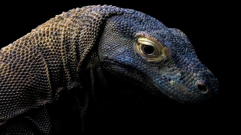 Dark Komodo Dragon