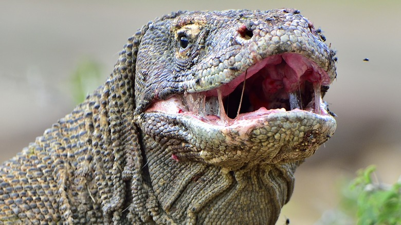 Adult Komodo Dragon with mouth open