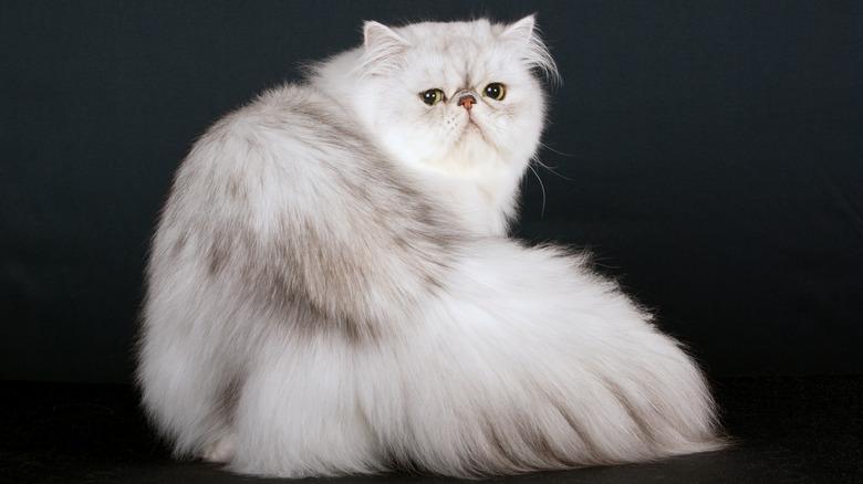 White chinchilla Persian cat