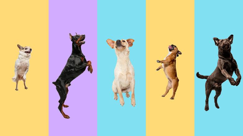 Chihuahua, doberman, frenchie dog banner