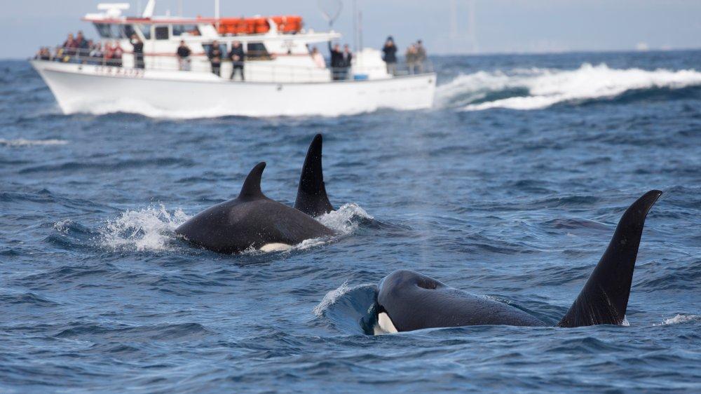 Orcas near boat