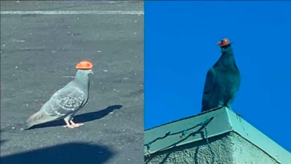 Pigeon Cowboy Hat