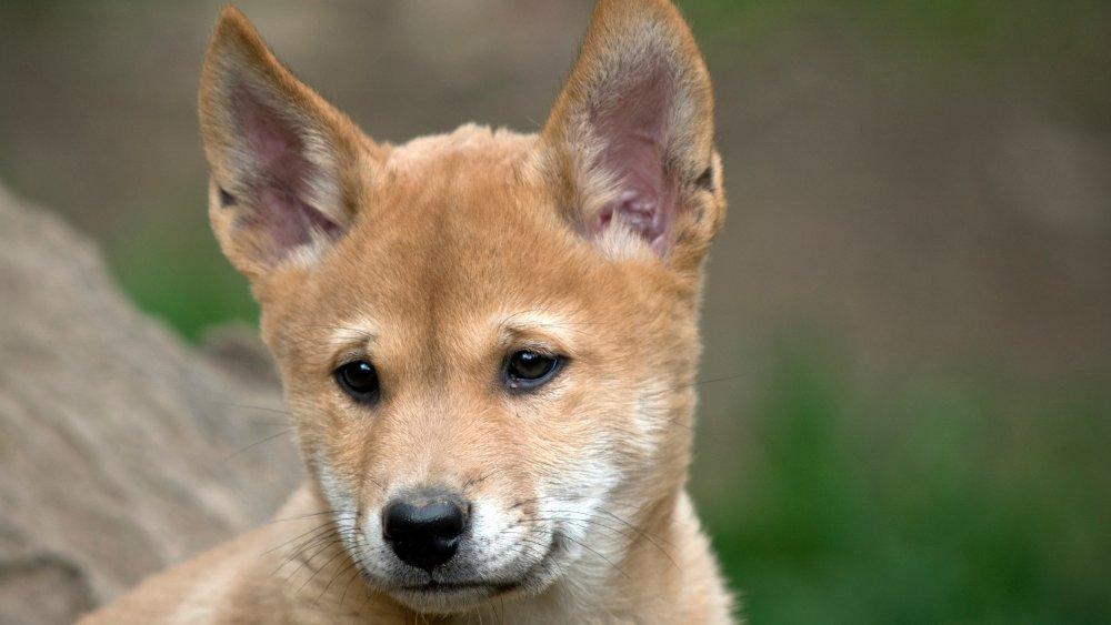 Dingo puppy