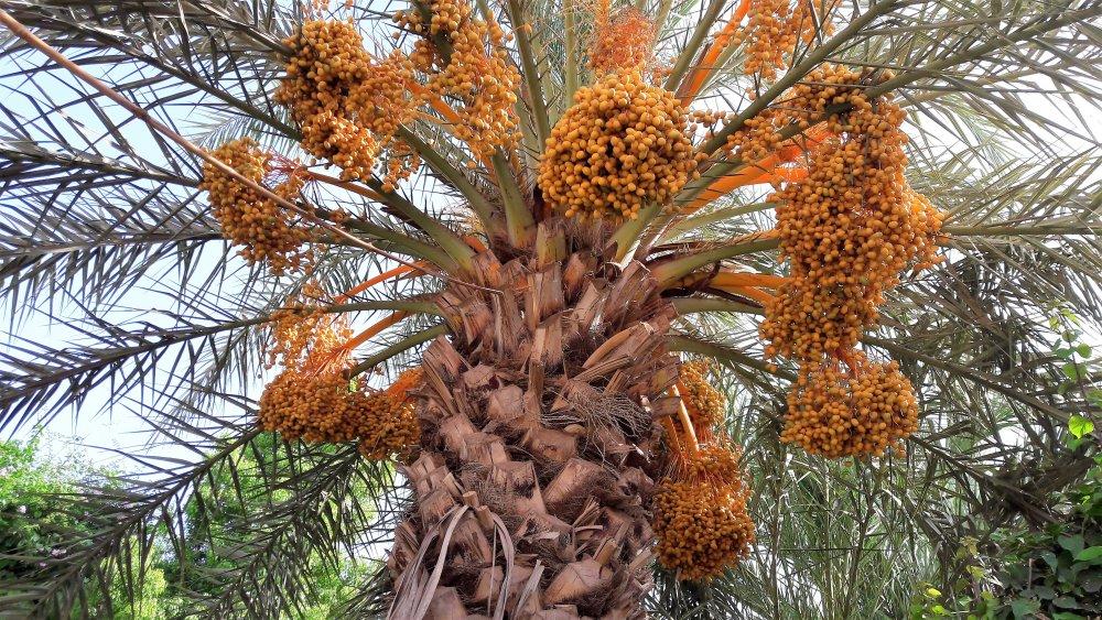 date palm, Biblical seeds