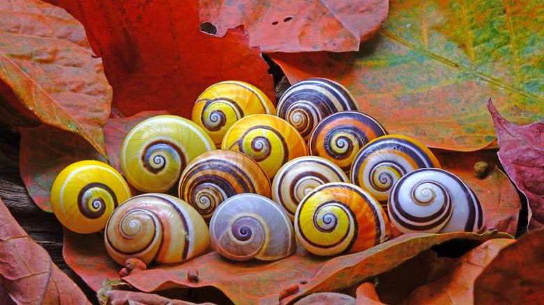 Murex snail
