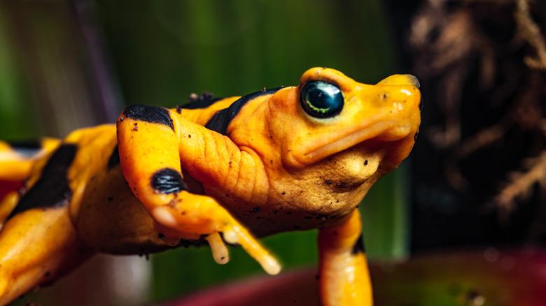 panamanian gold frog waving