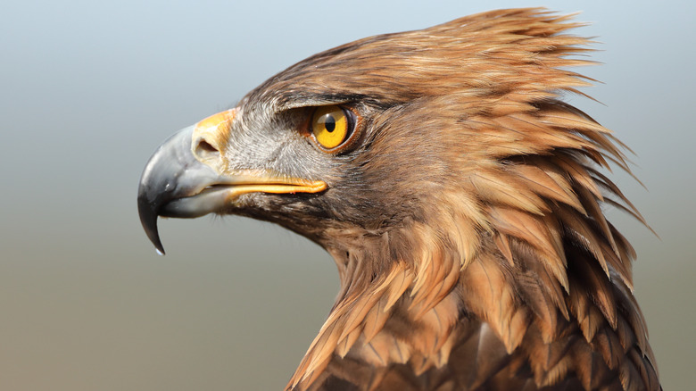 Eagle staring