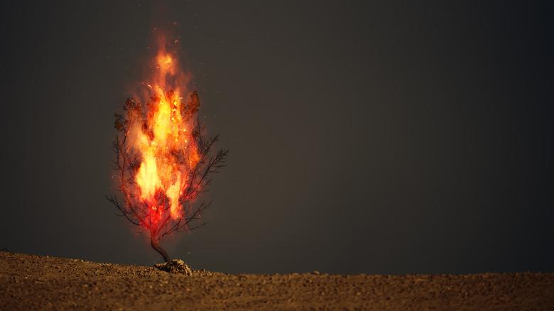 burning thorn bush