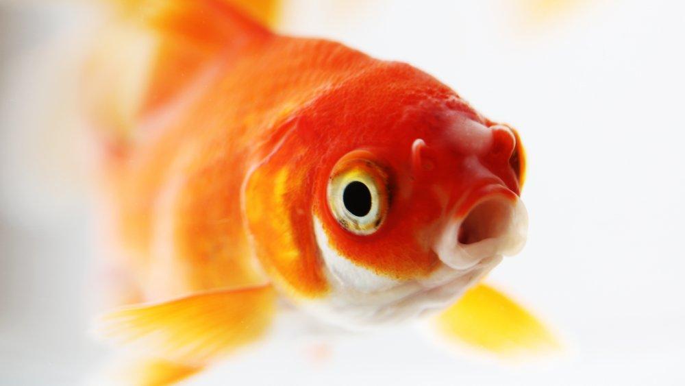 Goldfish swallowing
